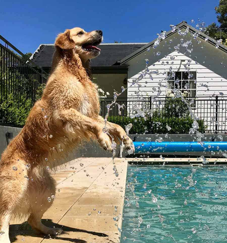 Dozer the golden retriever dog trying to catch pool water